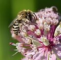 Bee - Colletes