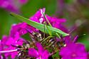 Conehead katydid - Neoconocephalus ensiger - female
