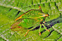 Buffalo Treehopper - Ceresa alta - Stictocephala