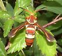 wasp mimic moth - Vitacea admiranda - female