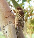 What kind of Cicada - Diceroprocta apache