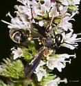 Physocephala on mint - Physocephala marginata