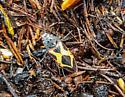 Colourful... Buprestid? - Xenomelanophila miranda