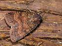 Unknown Moth - Abagrotis apposita