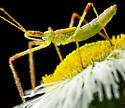 Assassin Bug Nymph? - Zelus