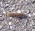 Caterpillar ID - Apantesis
