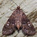 4754 Black Duckweed Moth - Elophila tinealis