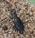 Cicindela sp.?  - Cicindelidia punctulata