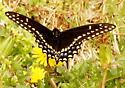 Black swallowtail butterfly - Papilio polyxenes