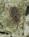 Bug - Aradus aequalis