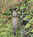 Microstylum galactodes - male