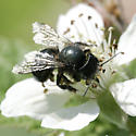 Orchard Bee? - Osmia lignaria