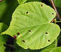 leaf gall - Eriophyes tiliae