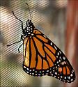Monarch Butterfly -- male - Danaus plexippus - male