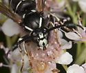 WaspIMG_4319 - Dolichovespula arctica - male