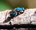 Cuckoo Wasp?