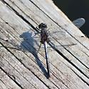 Little Long Lake Dragonfly - Leucorrhinia proxima