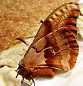 Polyphemus Moth - Antheraea polyphemus - female