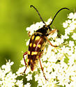 Flower Longhorn Beetle Brown and Orange - Typocerus velutinus