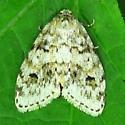 Moth - Clemensia albata