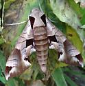 Vine sphinx moth? - Eumorpha achemon
