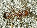 Nuptial Flight - Solenopsis invicta - female