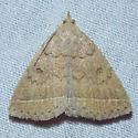 8352 Yellowish Zanclognatha [T] - Zanclognatha marcidilinea