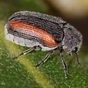 Orange-striped beetle on Gambel oak - Coleothorpa vittigera
