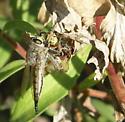 Robber Fly - Promachus vertebratus - female