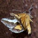 Euscirrhopterus cosyra