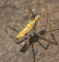 Assassin Bug Nymph? - Zelus renardii