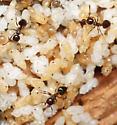 acrobat ants with brood - Crematogaster cerasi
