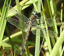 female Libellula vibrans - Libellula vibrans - female