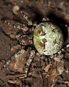 Large Bulbous Green Spider - Araneus bicentenarius - female