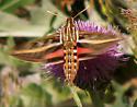 Moth - Hyles lineata