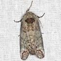 Heterocampa Moth - Hodges #7977 - Heterocampa astarte