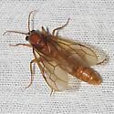 Army Ant - Labidus coecus