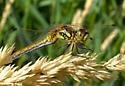 Female Black Meadowhawk - Sympetrum danae - female