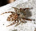 Jumping Spider - Zygoballus nervosus