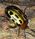 Yellow spotted ladybug-like beetle - Chrysomela texana