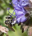 Halictid? - Dufourea - female