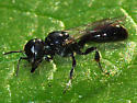 Square-headed Wasp - Crossocerus