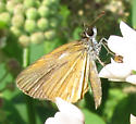 Small one - Ancyloxypha numitor