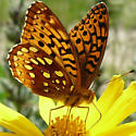 Butterfly - Speyeria cybele - male