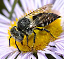 Wasp on Erigeron - Coelioxys