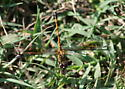 Seaside Dragonlet Erythrodiplax berenice. - Erythrodiplax berenice - female