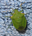 Stink Bug - Thyanta pallidovirens