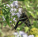 Moth feeding on Bluemist - Chioides albofasciatus