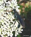 Blue Wasp 1 - Chalybion californicum