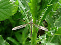 crane fly sp. - Tipula oleracea - male